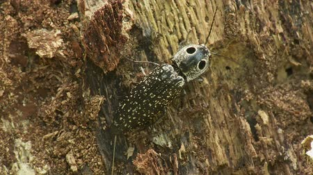 yanliŞ : An Eyed Click Beetle (Alaus oculatus), a large (almost 2 inches long) and striking beetle with prominent false eye spots, moves about on the side of a decaying tree stump. Stok Video