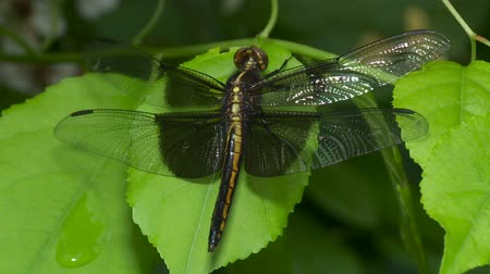 kurutma : A teneral male Widow Skimmer (Libellula luctuosa) dragonfly perches on vegetation while its wings dry.