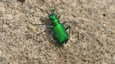 шесть : A Six-spotted Tiger Beetle (Cicindela sexguttata) stands and moves on the ground in spring.
