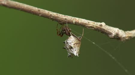 araneae : A female Spined Micrathena (Micrathena gracilis) spider hangs from a twig. Stock Footage