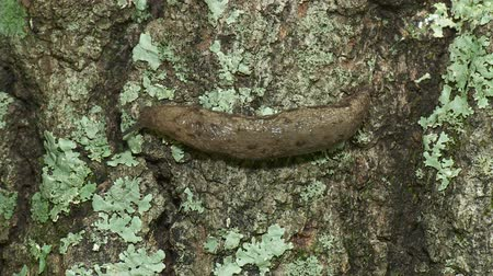 měkkýšů : A Grey Garden Slug (Deroceras reticulatum) moves slowly across the side of a lichen covered tree trunk. Dostupné videozáznamy