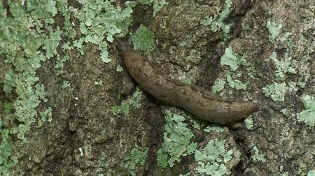 земной : A Grey Garden Slug (Deroceras reticulatum) moves slowly across the side of a lichen covered tree trunk. Стоковые видеозаписи