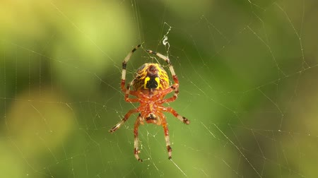 araneae : A female Marbled Orbweaver (Araneus marmoreus) spider moves to the center of its web and waits for prey.