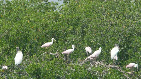 rookery : Juvenile Roseate Spoonbills (Platalea ajaja) and Wood Storks (Mycteria americana) perch on trees in a rookery at the edge of Paurotis Pond in Everglades National Park. Stock Footage