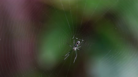 araneae : A female Orchard Orbweaver (Leucauge venusta) spider waits for prey at the center of its web.