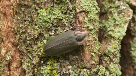 diurnal : A Winter Firefly (Ellychnia corrusca) perches on a lichen covered tree trunk in spring. Stock Footage