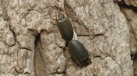 çiftleşme : A pair of Winter Fireflies (Ellychnia corrusca) mate on the side of a Black Locust tree trunk in spring.