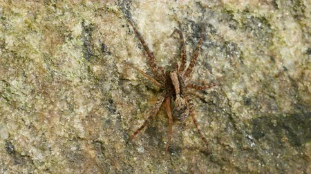 araneae : A Wolf Spider (Gladicosa pulchra) waits for a mate on a rock at the edge of a forested area in spring.