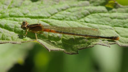 folha : An immature female Eastern Forktail (Ischnura hastata) perches on a leaf in spring.