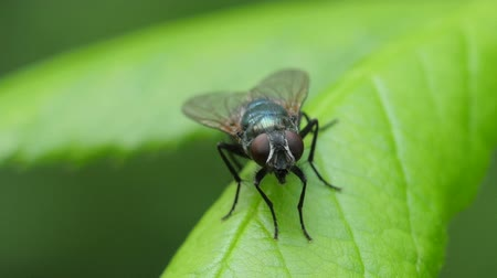 voar : A Common Green Bottle Fly (Lucilia sericata) perches on a leaf.