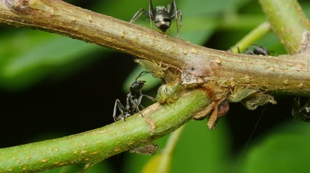 formicidae : Ants (Formica subsericea) tend Black Locust Treehopper (Vanduzea arquata) nymphs on a Black Locust (Robinia pseudoacacia) tree. The ants provide protection to the treehoppers in exchange for sugary honeydew, as seen with the ant on the left. Stock Footage