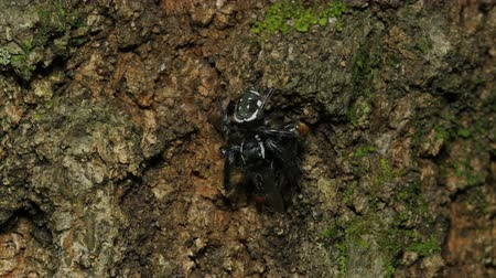 araneae : A Golden Jumping Spider (Paraphidippus aurantius) eats its captured prey while perching on the side of a tree. Stock Footage