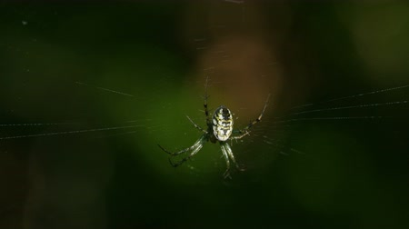 araneae : An female Orbweaver (Mangora spiculata) spider waits for prey at the center of its web. Stock Footage