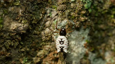 araneae : A female White Micrathena (Micrathena mitrata) spider begins spinning its web by attaching silk to the side of a tree