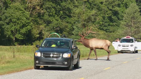 kuzey amerika : CATALOOCHEE VALLEY, NC - SEPTEMBER 26: A large bull Elk crosses the road while tourists and photographers take pictures on September 26, 2014 in Cataloochee Valley in Great Smoky Mountains National Park. Stok Video