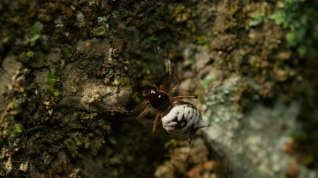 araneae : A female White Micrathena (Micrathena mitrata) spider begins spinning its web by attaching silk to the side of a tree.