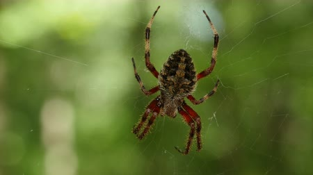 araneae : An Orbweaver (Neoscona crucifera) spider waits for prey at the center of its web. Stock Footage