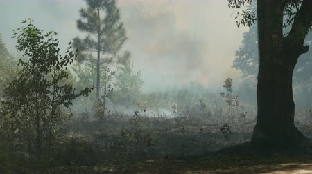 silvicultura : Florida Park Service staff execute a prescribed burn in the pine flatwoods of Highlands Hammock State Park in Sebring, Florida.  Prescribed burns are used periodically to keep invasive species, such as Cogon grass, in check.