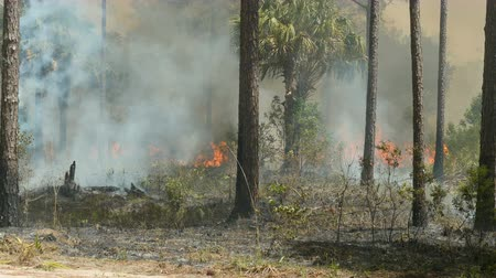 füstös : Florida Park Service staff execute a prescribed burn in the pine flatwoods of Highlands Hammock State Park in Sebring, Florida.  Prescribed burns are used periodically to keep invasive species, such as Cogon grass, in check.