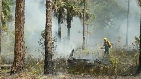 erdészet : SEBRING, FL - APRIL 11: Florida Park Service staff use drip torches to execute a prescribed burn in the pine flatwoods of Highlands Hammock State Park on April 11, 2016 in Sebring, Florida.