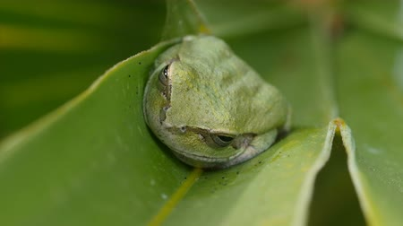 toad : A Pine Woods Treefrog (Hyla femoralis) perches on Saw Palmetto leaflet.