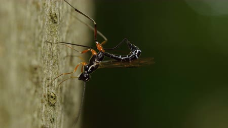 паразитный : A female Ichneumon Wasp (Rhyssella nitida) oviposits (lays eggs) in the larvae of wood wasps in the trunk of a dead American Beech (Fagus grandifolia) tree.  Rhyssella nitida parasitizes Xiphydria spp.