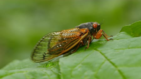 periódico : An adult 17-year periodical cicadas (Magicicada cassinii) clings to a leaf after emerging from its 17 year underground nymphal stage to breed in the spring of 2016.