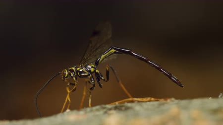 yabanarısı : A male Giant Ichneumon Wasp (Megarhyssa macrurus) uses its antennae to search for females developing on the larvae of Pigeon Horntail (Tremex columba) inside the fallen trunk of a dead Beech tree.  Once found, the male will attempt to inseminate the femal