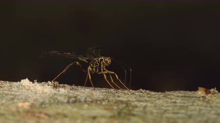 паразитный : A male Giant Ichneumon Wasp (Megarhyssa macrurus) uses its antennae to search for females developing on the larvae of Pigeon Horntail (Tremex columba) inside the fallen trunk of a dead Beech tree.  Once found, the male will attempt to inseminate the femal
