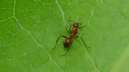 foraging behavior : An Ant (Formica incerta) worker explores the surface of a milkweed plant leaf.