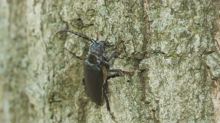 közepes : A female Broad-necked Root Borer (Prionus laticollis) clings to the side of a tree.