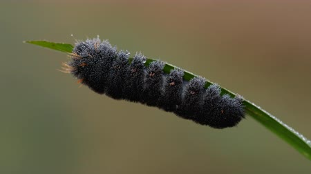 sowa : An Agreeable Tiger Moth (Spilosoma congrua) caterpillar (larva) feeds on a blade of marsh grass.