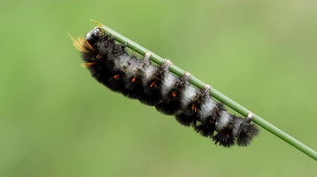 sowa : An Agreeable Tiger Moth (Spilosoma congrua) caterpillar (larva) feeds on vegetation.