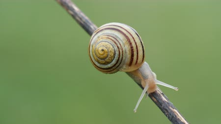mech : A White-lipped Snail (Cepaea hortensis) moves slowly along a plant stem.