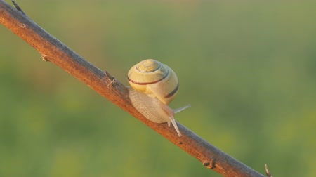 A White-lipped Snail (Cepaea hortensis) moves slowly along a plant stem.