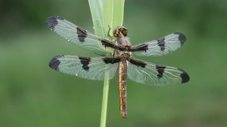 A dew covered teneral female Twelve-spotted Skimmer (Libellula pulchella) dragonfly waits for its wings to harden prior to its first flight. Stock Footage