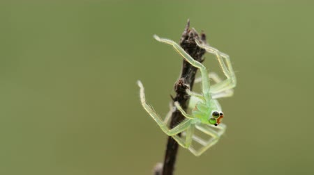 A Magnolia Green Jumper (Lyssomanes viridis) jumping spider jumps from its perch on a twig as it waits for prey.