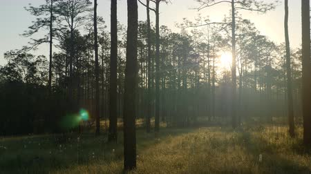 The sun rises through the trees of a pine flatwoods habitat in Apalachicola National Forest. Stock Footage