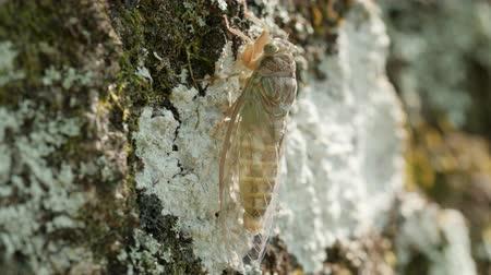 A Cicada (Cicadidae) waits to harden shortly after molting on the side of an oak tree. Stock Footage