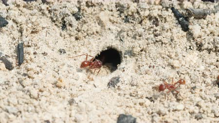 ant : Florida Harvester Ant (Pogonomyrmex badius) workers clear the entrance to their nest.