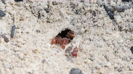 Florida Harvester Ant (Pogonomyrmex badius) workers clear the entrance to their nest.