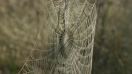 A large dew covered orbweaver spider web blows gently in a morning breeze. Stock Footage