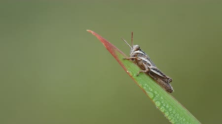 A dew-covered Spur-throated Grasshopper (Melanoplus sp.) nymph perches on a blade of grass in the cool air of early morning. Stock Footage