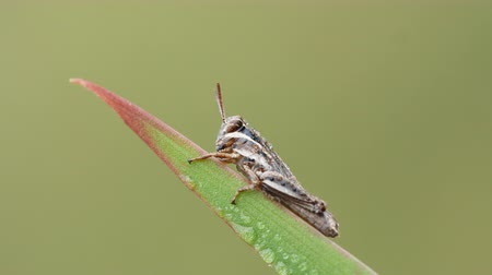 horned : A dew-covered Spur-throated Grasshopper (Melanoplus sp.) nymph perches on a blade of grass in the cool air of early morning. Stock Footage