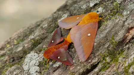 A pair of Southern Pink-striped Oakworm Moths (Anisota virginiensis) mate on the side of an oak tree. Stock Footage