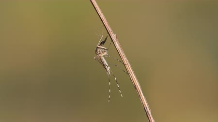 komar : A Mosquito (Culicidae) warms up in the early morning. Wideo
