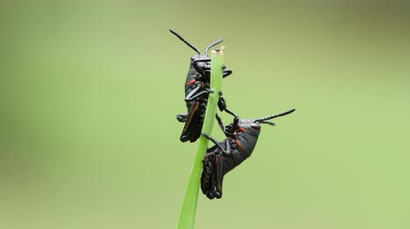 horned : Eastern Lubber Grasshopper (Romalea microptera) nymphs (early instars) perch on a blade of grass. Stock Footage