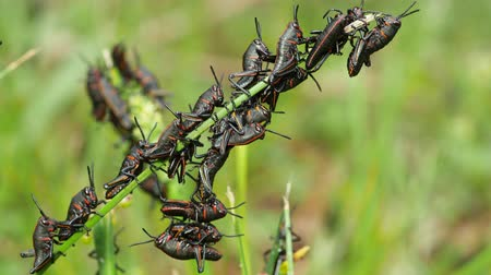 rövid : Eastern Lubber Grasshopper (Romalea microptera) nymphs (early instars) perch on blades of grass.