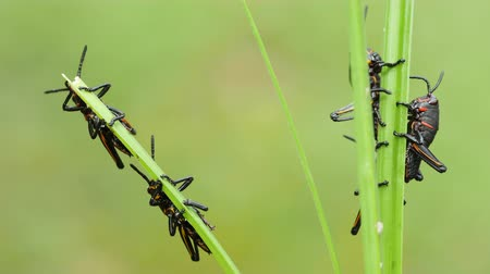 horned : Eastern Lubber Grasshopper (Romalea microptera) nymphs (early instars) perch on blades of grass.