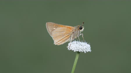 A Skipper Butterfly (Hesperiidae) perches on a Pineland Bogbutton.